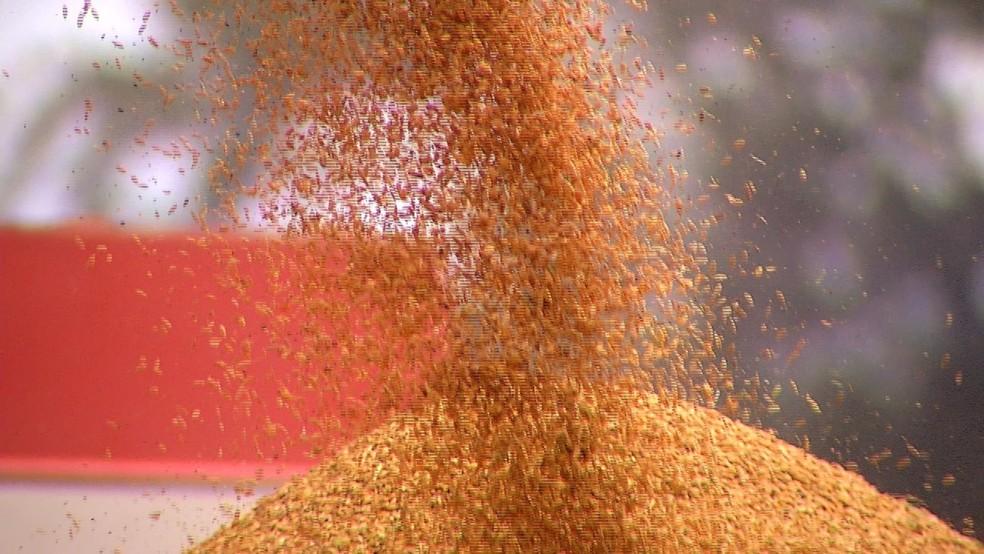 Produção de arroz é prejudicada pela seca dos últimos seis anos (Foto: Flávio Soares)
