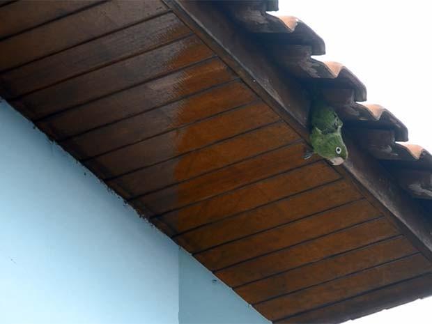Maritacas ficam presas em telhado de casa em Itajubá (Foto: Luciano Lopes)