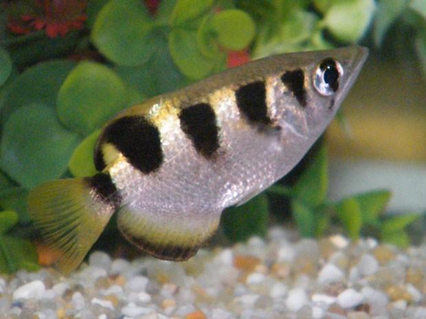 Exemplar de peixe-arqueiro, que captura presas com jatos de água mesmo estando submerso (Foto: Divulgação/L. Zinnato/PLoS ONE)
