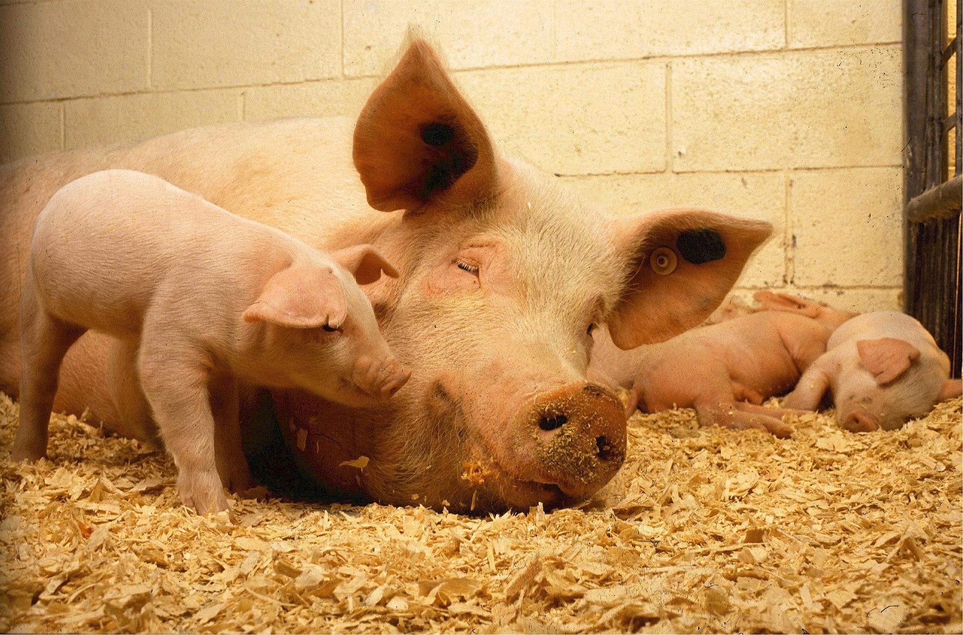 Porcos são amigos (Foto: Creative Commons/skeeze)