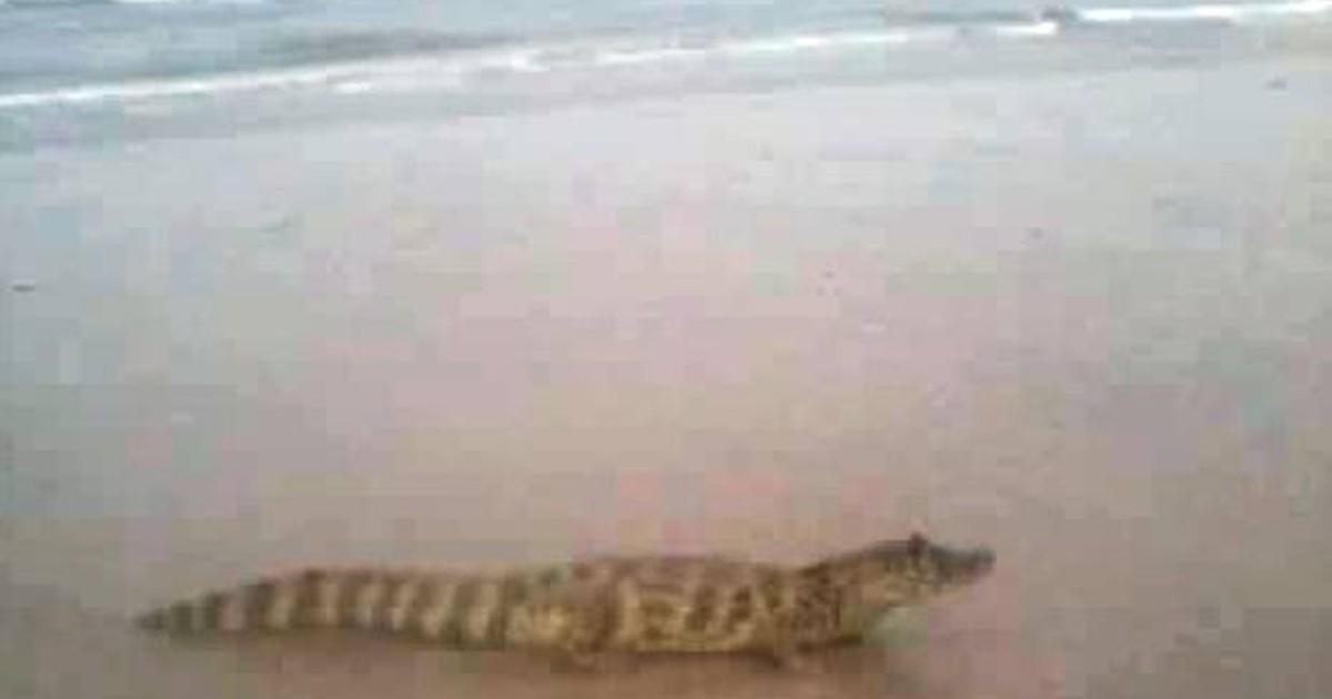 60922045f4187 G1 - Jacaré aparece em praia