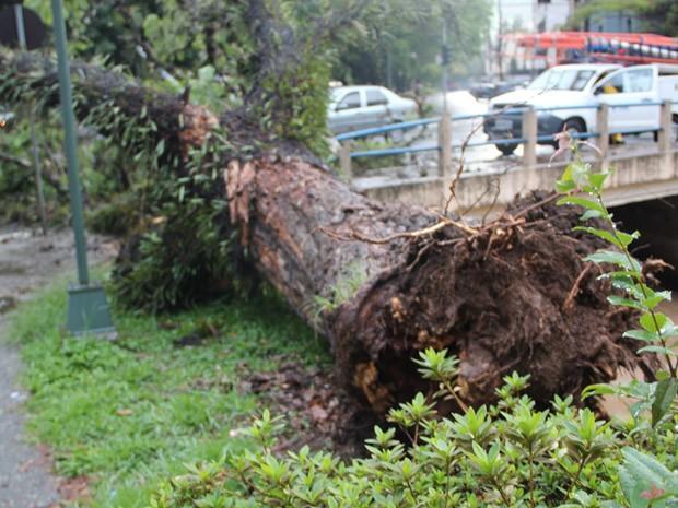 Árvore caiu por causa da chuva no Centro de Poços de Caldas. (Foto: Jéssica Balbino / G1)