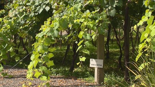 Vinícolas do Sul de SC recebem turistas para colheita da uva