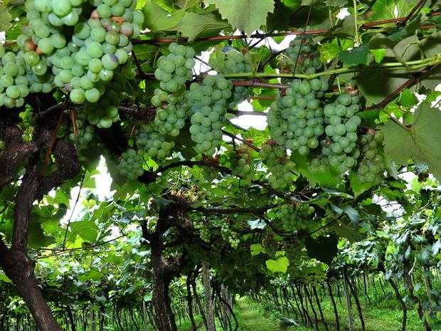 Segundo a Secretaria Municipal de Agricultura e Pecuária, 25 toneladas de uva devem ser vendidas até domingo (17) (Foto: Divulgação/Prefeitura de Ponta Grossa)