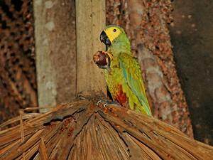 maracarã-do-buriti (Orthopsittaca manilatus)  (Foto: Rudimar Narciso Cipriani)