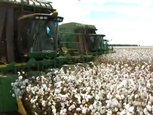 Área cultivada com algodão em Mato Grosso do Sul deve cair entre 6% e 12% na safra 2014/2015, aponta Conab (Foto: Reprodução/TV Morena)