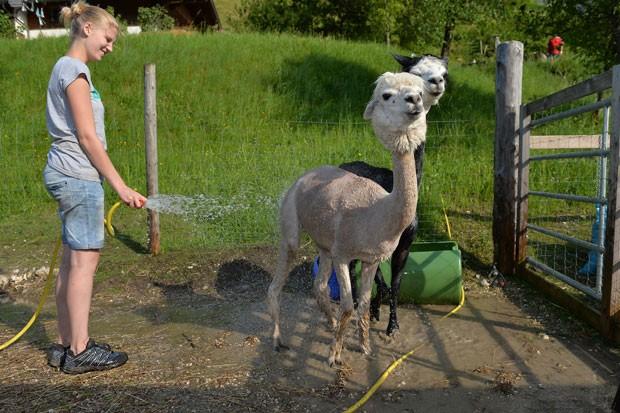 Além da tosa dos pelos, os animais ganharam ainda um banho refrescante em uma fazenda da Áustria (Foto: Kerstin Joensson/AP)