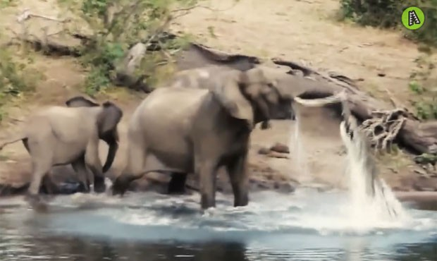 Elefante lutou contra crocodilo após o réptil morder sua tromba (Foto: Reprodução/YouTube/ MaxAnimal)
