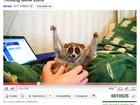 Sucesso no YouTube aumenta comércio ilegal de animal ameaçado