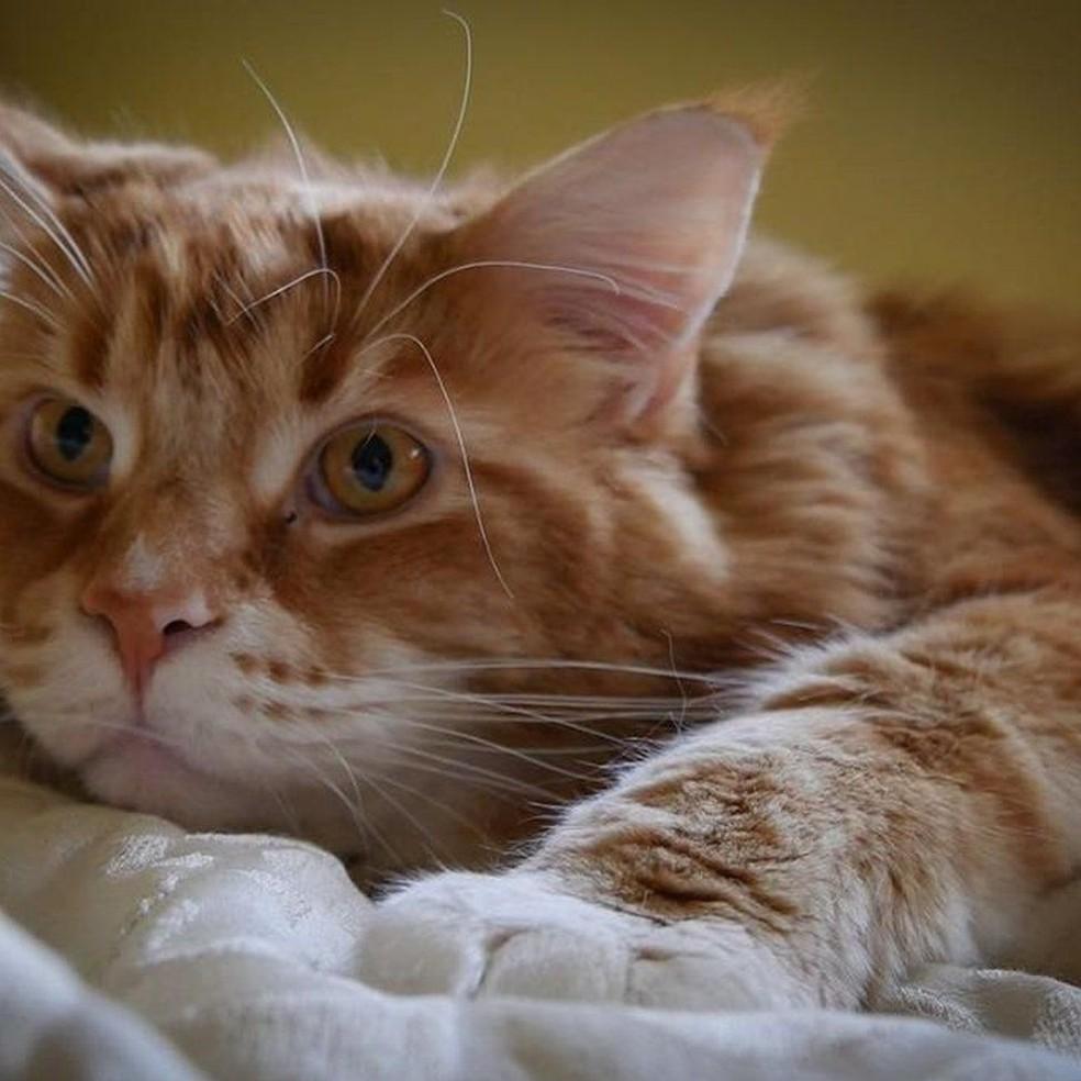 Gato tem dieta à base de ração e carne fresca de canguru (Foto: Instagram/@omar_mainecoon)