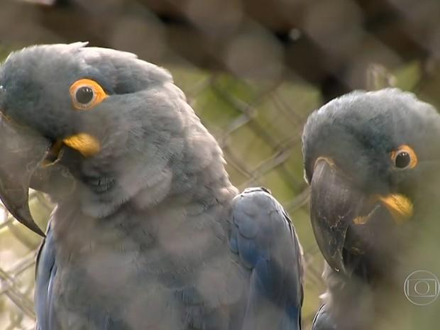 Exemplar adulto da Arara-Azul-de-Lear (Foto: Reprodução/TV Globo)