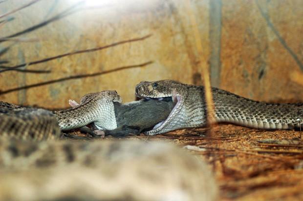 Animais foram flagrados disputando a mesma presa, em uma cena que lembra um 'jantar romântico' (Foto: Paul Murray/Caters News)