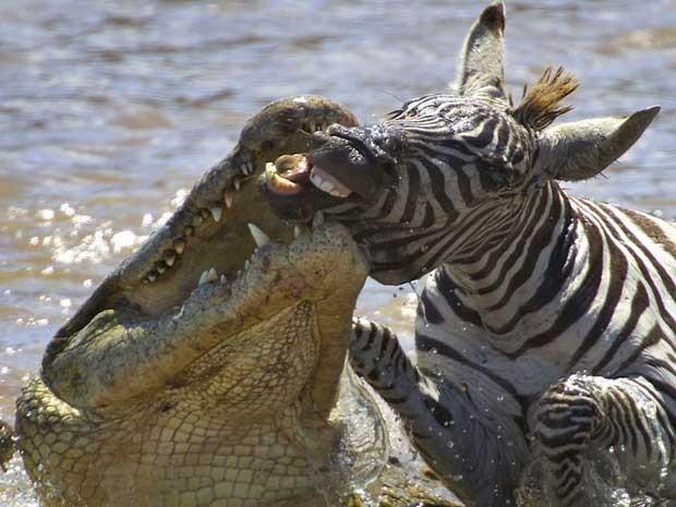 Crocodilo faminto é fotografado atacando uma zebra adulta no Quênia, enquanto ela cruzava o Rio Mara, na migração anual de zebras e gnus. O réptil conseguiu quebrar a mandíbula da presa, que escapou mas acabou morta por outros três crocodilos.  (Foto: Gabriela Staebler / Caters)