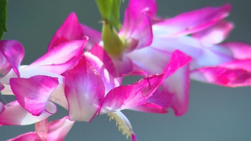 Flor de maio branca com borda pink também foi desenvolvida por Valter Saia (Foto: Reprodução/TV TEM)
