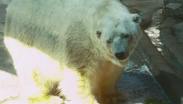 Urso polar tinha sido levado dos Estados Unidos à Argentina há 23 anos (Foto: Reprodução/YouTube/AFP)