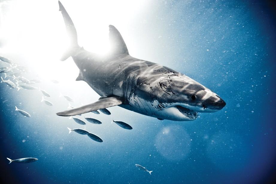 Tubarão branco/ Ilha Guadalupe, México (Foto: ©Michael Muller / Taschen / CPi Syndication )