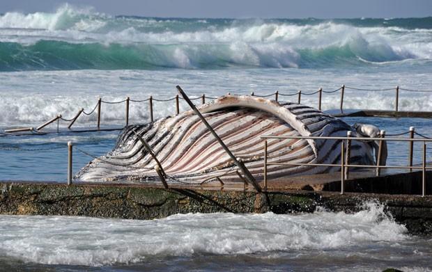 A carcaça pesa cerca de 30 toneladas e mede 11,6 metros de comprimento. (Foto: Torsten Blackwood/AFP)