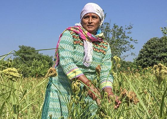Uma agricultora da fazenda Navdanya faz a colheita em um campo de milhete  (Foto: © Giselle Paulino)