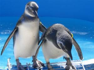 Pinguins sob os cuidados do Ipram (Foto: Luis Felipe Mayorga / Divulgação / Ipram)