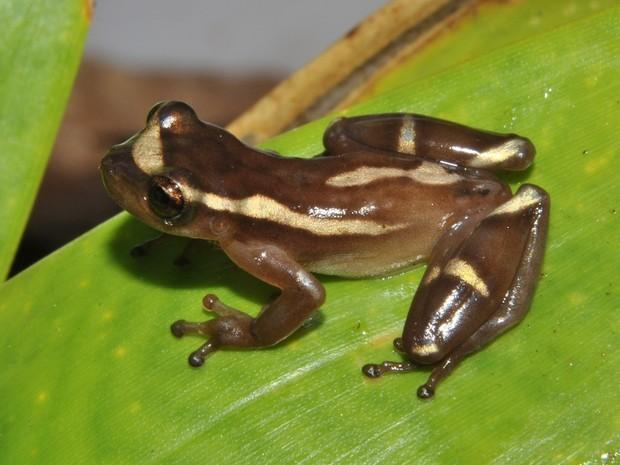 Perereca é a única de seu gênero a se reproduzir em bromélia (Foto: Rodrigo Ferreira / Bromeligenous)
