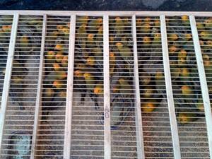 PRF faz apreensão de mil canários da terra e 20 pássaros da espécie coleiras (Foto: Polícia Federal/Divulgação)