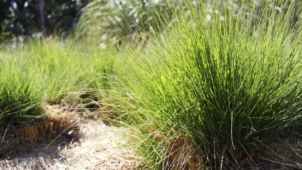 Essa gramínea ornamental tem alta durabilidade, inclusive em períodos secos e frios (Foto: Mário Gomes / TG)