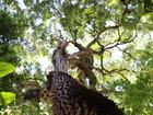 Equipe tenta 'salvar' peroba rosa de 300 anos no bosque de Ribeirão Preto
