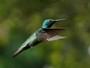 Beija-flor-de-veste-preta tem plumagem negra da garganta ao peito