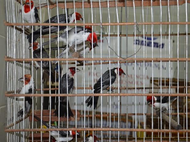 Aves do tipo galo de campina foram apreendidas durante fiscalização da Sudema (Foto: Walter Paparazzo/G1)