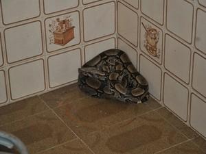 Cobra é encontrada em cozinha de sítio (Foto: Divulgação )