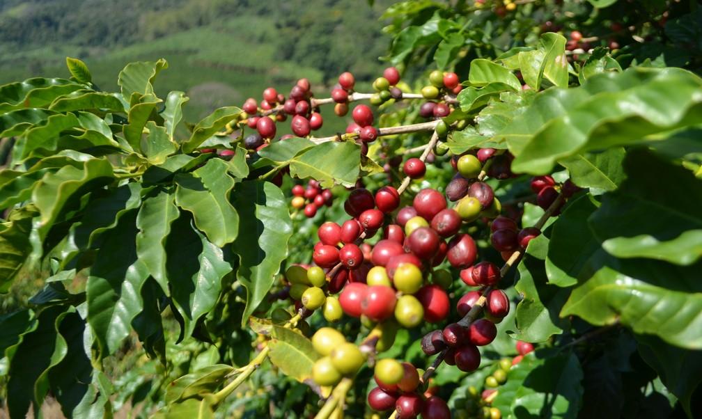 Disseminação de informações no campo ajudam cafeicultor a melhorar produtividade no Sul de Minas (Foto: Lucas Soares)