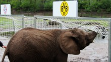 Elefante Nelly prevê título do Bayern de Munique sábado (AFP)