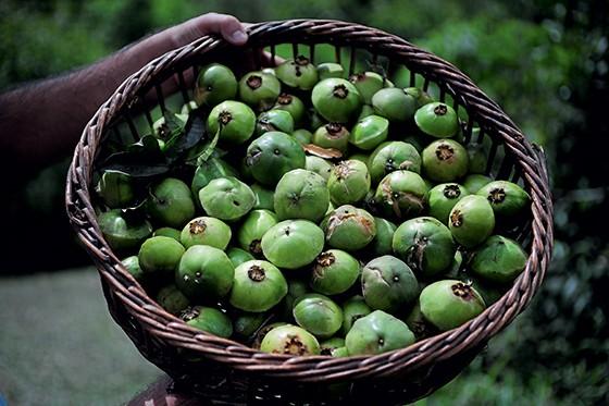 POTENCIAL Cesto com cambucis. A fruta pode virar suco, geleia ou doce (Foto: Ernesto de Souza/ÉPOCA)