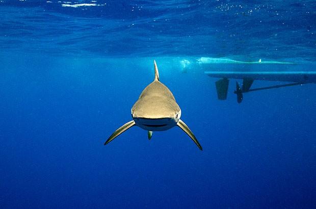 Exemplar de tubarão lombo-preto fotografado na costa do Rio de Janeiro (Foto: Divulgação/Daniel Botelho)