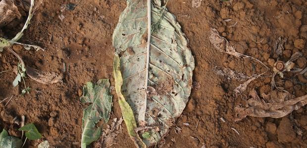 Fazenda de tabaco em Maryland, Estados Unidos (Foto: Mark Wilson/Getty Images)