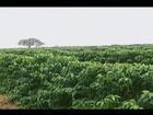 Produtores de café esperam colheita antecipada devido às chuvas em MG