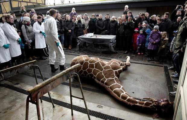 Visitantes puderam assistir à necrópsia e desmembramento de Marius (Foto: AP Photo/POLFOTO, Peter Hove Olesen)