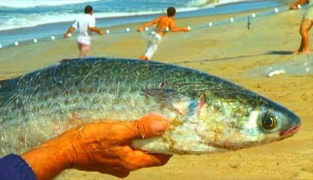 Essa espécie vive em águas costeiras temperadas ou tropicais, nas proximidades dos costões rochosos e recifes, nas praias de areia e nos manguezais (Foto: Arquivo TG)