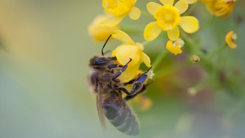 abelha-controle-biologico-horta (Foto: Creative Commons)