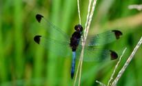 Libélula é aposta para exterminar larva do Aedes aegypti em Aparecida  (Rudimar Narciso Cipriani)