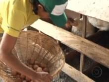Produção de ovos caipiras garante renda a agricultores do RN (Foto: Reprodução/TV Globo)