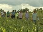 Cultivo do abacaxi ganha cada vez mais espaço nas lavouras do Pará