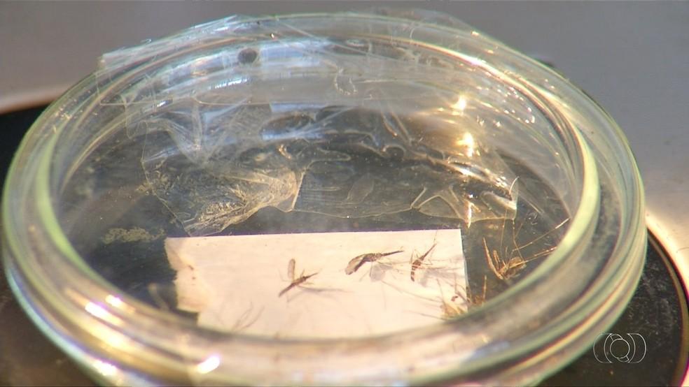 Mosquito  transmissor da malária se reproduz e se alimenta na beira de rios (Foto: Reprodução/TV Anhanguera)