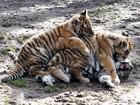 Três filhotes de tigre brincam em zoológico na Alemanha