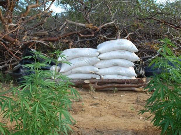Pés de maconha são destruídos na Bahia (Foto: Divulgação/PF)