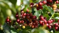 Produtores de Iúna esperam colher mais de 400 mil sacas de café