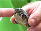 Projeto do Tocantins quer aumentar números de tartarugas da Amazônia