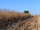 Colheita de milho chega a 96% em Mato Grosso nesta semana