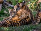 Zoo de San Diego apresenta três filhotes de tigre de Sumatra