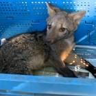 Cachorro-do-mato é resgatado (Reprodução RBS TV)
